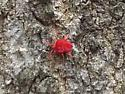 Unknown velvet mite - Trombidium