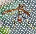 Mischocyttarus mexicanus cubicola - Mischocyttarus mexicanus - female
