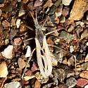 Reduviid - Stenopoda spinulosa