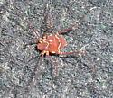 spider - Vonones ornatus
