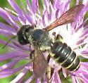 yellow-band bee - Megachile pugnata