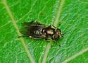 Eumerus Female on Grape Leaf - Eumerus - female