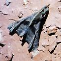 Moth - Palthis asopialis