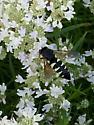 Cicada killer wasp? - Bicyrtes quadrifasciatus