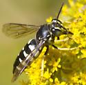 unknown wasp - Bicyrtes quadrifasciatus