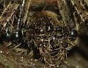 Big spider.  Huge spider! - Araneus nordmanni