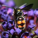 Scoliid Wasp - Scolia nobilitata