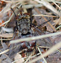 ID for a Tachinid fly? - Peleteria