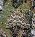 Caripeta divisata