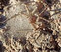 Female desert philodromid guarding egg sac - Thanatus vulgaris? - Apollophanes texanus - female