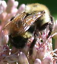 Bumblebee on Joe-pye weed - Bombus citrinus - female