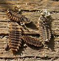 Netwinged Beetle Larva ? - Lycus sanguineus