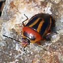 Small beetle, similar to lady bug, stripes no spots though - Perillus exaptus