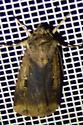 Feltia subterranea – Subterranean Dart Moth - Feltia subterranea