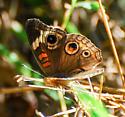 Junonia coenia - Common Buckeye - Hodges#4440 - Junonia coenia