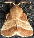 Moth - Malacosoma americana