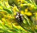 Goldenrod beetle - Stiretrus anchorago