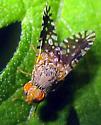 Fruit Fly - Euaresta bella