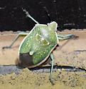 Say's Stinkbug - Chlorochroa sayi
