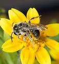 Andrena lativentris - male