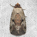 Pale-winged Midget - Hodges#9681.1 - Elaphria alapallida