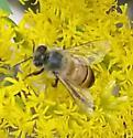 european honeybee (?) on goldenrod  - Apis mellifera