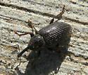 Weevil - Notaris aethiops