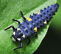 Seven-spotted Lady Beetle larva - Coccinella septempunctata