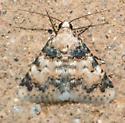 Allerastria albiciliatus