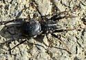 spider110616 - Castianeira