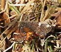 confusing moth - Archiearis infans