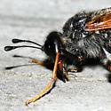 Cimbicid Sawfly - Trichiosoma triangulum