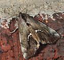 Hypsoropha hormos - Small Necklace Moth - Hodges#8528 - Hypsoropha hormos