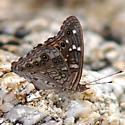 Empress Leilia - Asterocampa leilia - male