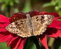 Female Horace's Duskywing? - Erynnis horatius - female