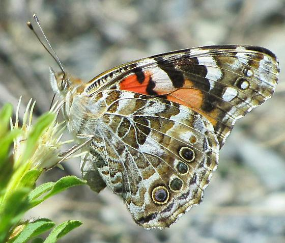 Butterfly Sideview - Vanessa cardui