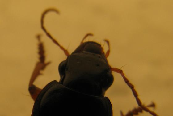 Ground Beetles - Harpalus rufipes - male