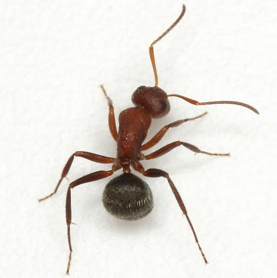 Camponotus planatus (Roger) - Camponotus planatus