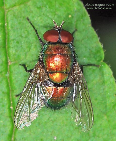 Calliphoridae ? - Lucilia - male