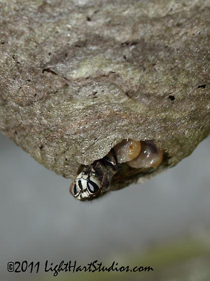 Dolichovespula? - Dolichovespula maculata