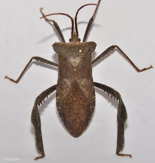 Its not a wheel bug...is it?  - Acanthocephala declivis