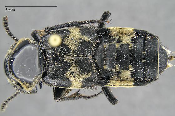 Creophilus sp. - Creophilus maxillosus