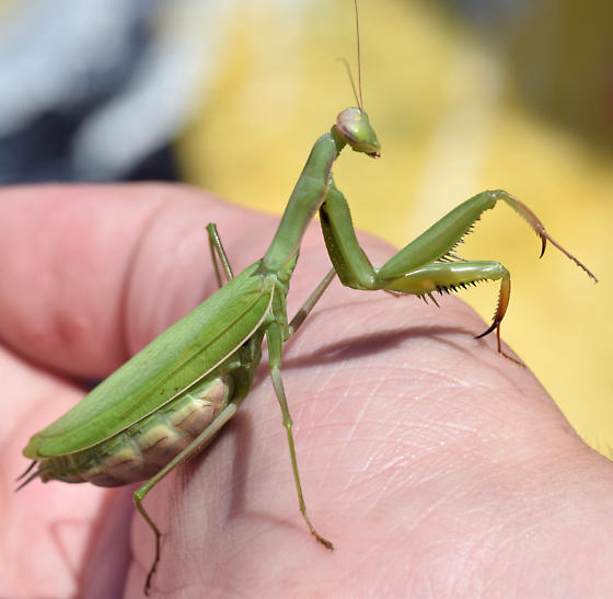 gravid European mantis - Mantis religiosa - female
