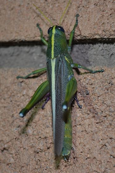 Pretty Grasshopper - Schistocerca lineata - female