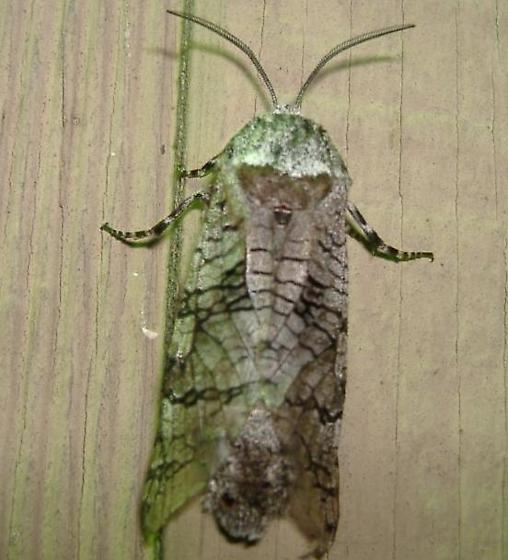 big grey moth - Prionoxystus macmurtrei