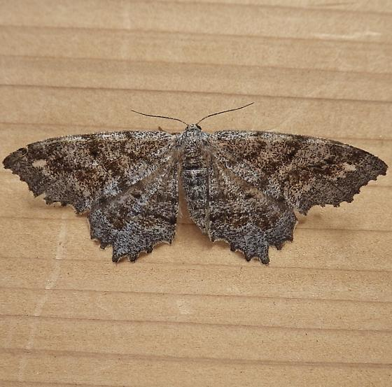 Geometridae: Hypagyrtis unipunctata - Hypagyrtis unipunctata - female