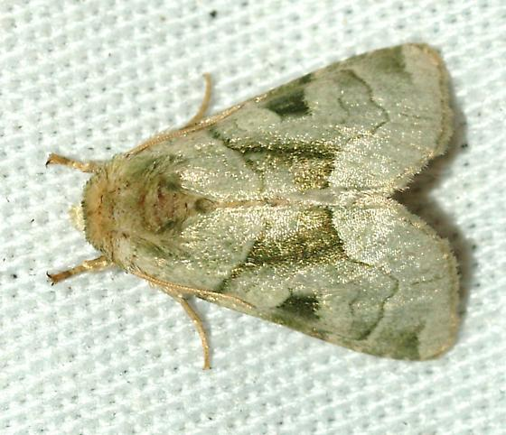 Moth - Oslaria viridifera