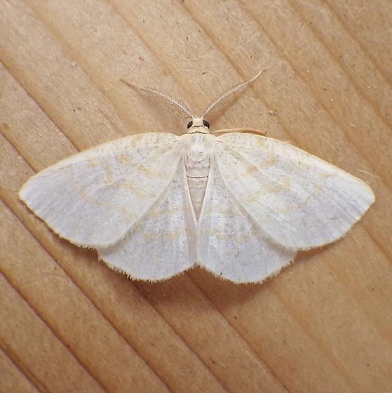 Geometridae: Cabera variolaria - Cabera erythemaria - male