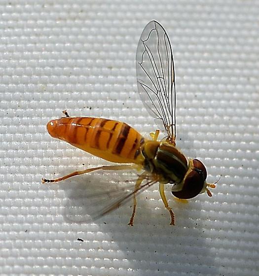 Syrphidae ? - Toxomerus politus