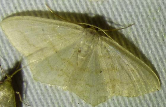 unknown moth - Scopula limboundata